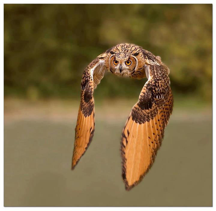 Awesome Click of Flying Owl