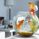 Gold Fish Enjoying