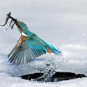 Amazing Picture Of A Kingfisher Catching 3 Fish