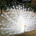 Beautiful White Peacock.