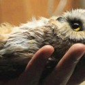 Cute Baby Owl in Hand
