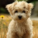 Havanese Silk Dog Smiling In Field