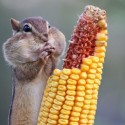 Perfect Click Eating The Corn