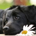 Sad Black Cute Labrador Laying And A White Flower