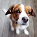 Nice Brown And White Puppy Looking At Camera