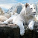 Rare Beautiful White Lion Sitting
