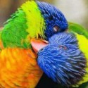 Colorful Parrots Kissing
