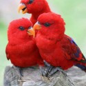 Three Cute Little Red Birds