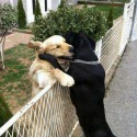 Best Ever Hug By Labradors