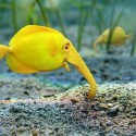 Elephant Fish, Look Awesome