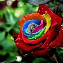 Awesome Rainbow Rose