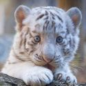 Baby White Tiger With Blue Eyes