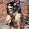 Tibetan Mastiff Dog Looks Like A Beer