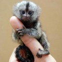Baby Marmoset Monkey Sits On Finger