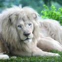 Beautiful White Lion Sitting On The Grass