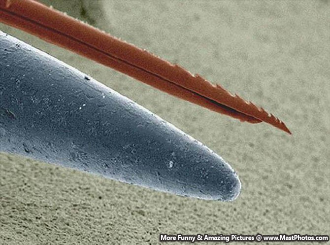 how to look at a mosquito under a microscope