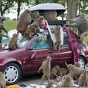 Crazy Monkey – Attacked On A Car