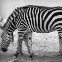 Two-Headed Zebra – Optical Illusion